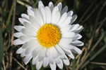 Tusindfryd (Bellis perennis)